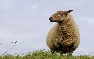 ללמוד ניהול מרועי הכבשים?